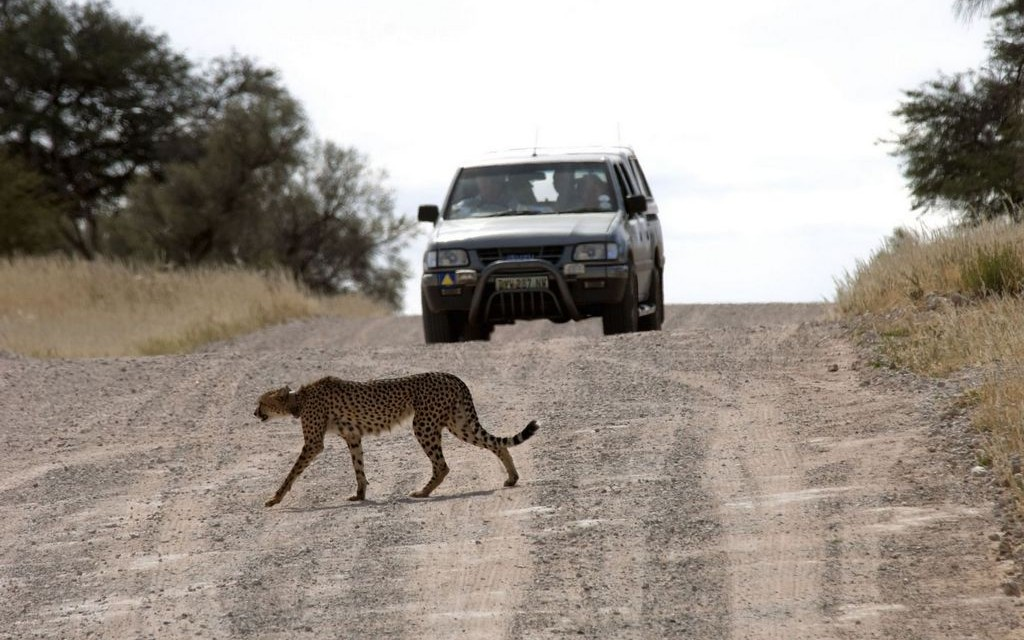 Cheetah, !Xaus Lodge, Kgalagadi Transfrontier Park, South Africa © South African Tourism | Flickr