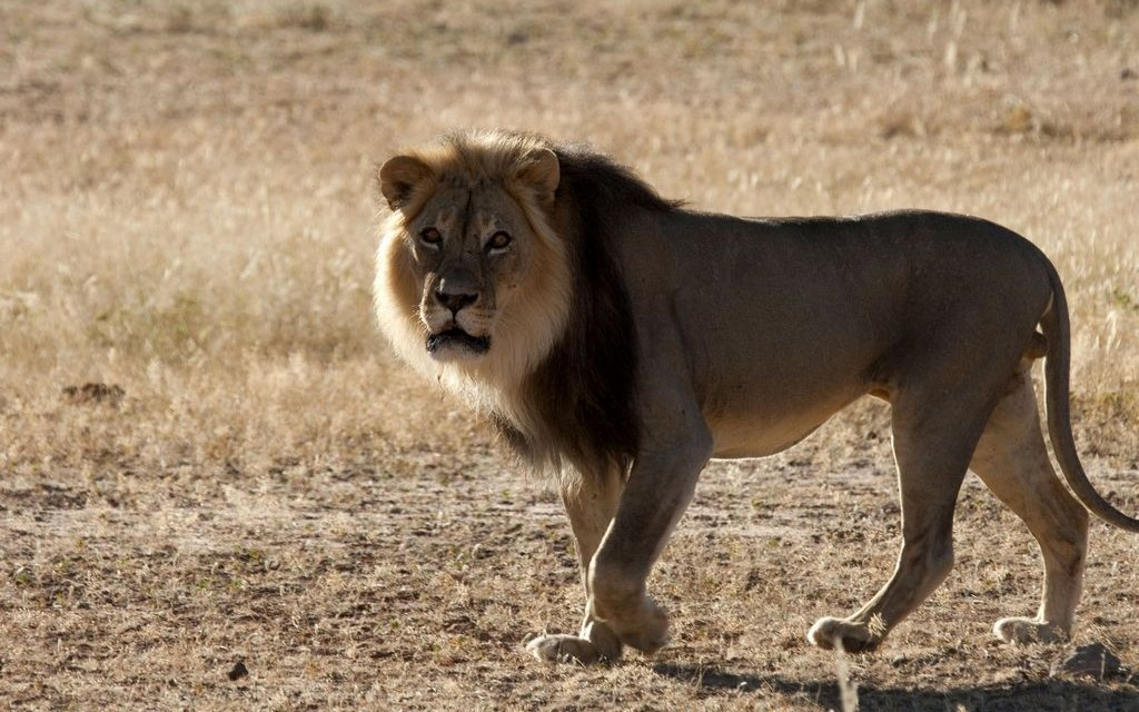 Lion, !Xaus Lodge, Kgalagadi Transfrontier Park, South Africa © South African Tourism   Flickr