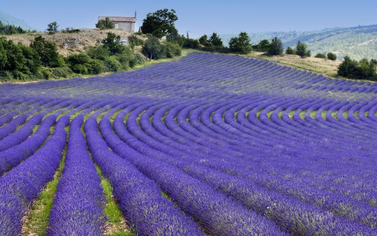 Lavender Fields of Provence, France © Tramontana | Dreamstime 29413947