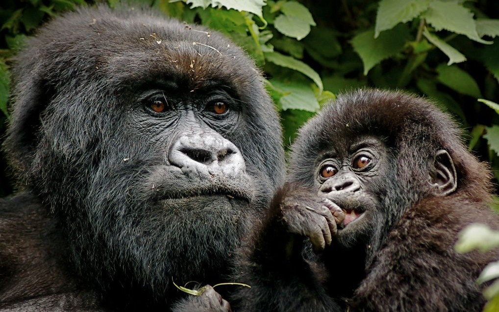 Mountain Gorillas of Bwindi Impenetrable Forest, Kenya © Nickjacksonphotography | Dreamstime 41926655